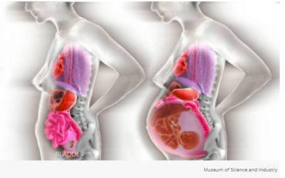 Sådan bevæger organerne sig inde i dig under graviditeten